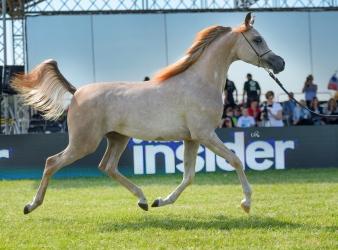 Al Khalediah Show – Arabian Horse Spirit