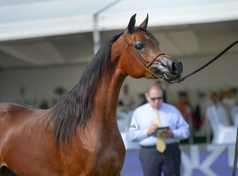 Szczęśliwa liczba trzy. Al Khalediah European Arabian Horse Festival 2016 (19-21 sierpnia)